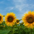 Stock Photo: Sunflowers on blue sky