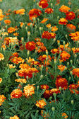 Red Yellow Marigold close up — Stock Photo
