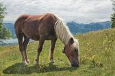 Horse portrait on Zwolferhorn — Stock Photo