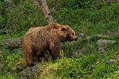 Bear portrait in Salzburg zoo — Stock Photo