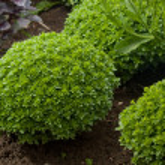 Basil plant in garden — Stock Photo