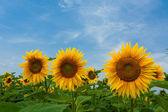 Zonnebloemen op blauwe hemel — Stockfoto