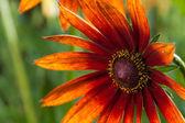 Red Yellow Rudbeckia flower — Stock Photo