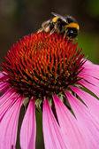 Pink Echinacea flower — Stock Photo
