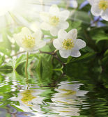 White anemone in water with water drops — Stock Photo