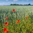 Stock Photo: Red poppy. Germany