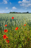 Red poppy. Germany — Stock Photo