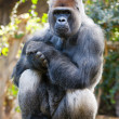 Gorilla — Stock Photo #9941805