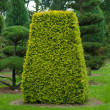 Stock Photo: Yew topiary