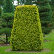 Yew topiary — Stock Photo #8407444