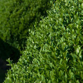 Buxus do topiary — Foto Stock