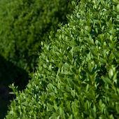 Buxus topiario — Foto de Stock