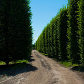Alley of hornbeam along dirt road — 图库照片