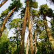 Giant pine trees in the forest — Stock Photo
