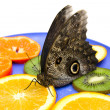 Owl butterfly eats fruits on a plate. - Stock Photo