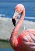 Pink flamingo portrait — Stock Photo