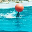 Dolphin playing with red ball - Stock Photo
