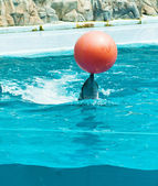 Dolphin playing with red ball — Стоковое фото
