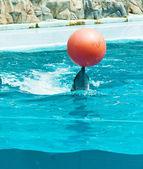Golfinhos brincando com bola vermelha — Foto Stock