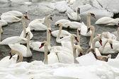 Swan . — Stock Photo