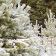 Beautiful winter forest — Stock Photo #8404012