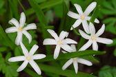 Chionodoxa flowers — Stock Photo