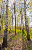 Large Birch — Stock Photo
