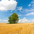 Stock Photo: Alone tree in wheat field