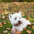 West highland white terrier on the green grass — Stock Photo #8928137