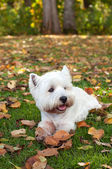 West highland white terrier on the green grass — Stock Photo
