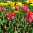 Red and yellow tulip at spring — Stock Photo