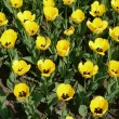 Stock Photo: Yellow tulip at spring day