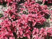 Czerwone liście na kwietnik — Zdjęcie stockowe