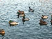 Ducks on water — Stock Photo