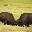 Stock Photo: Buffalo fighting.