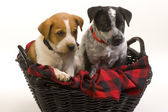 Texas Red and Blue Heeler Pups. — Stock Photo