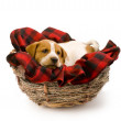 Puppie in a Birds Nest. - Stock Photo