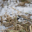 Wagtail - Stock Photo