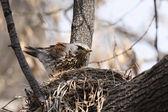 Fieldfare, (Turdus pilaris) — Stock Photo