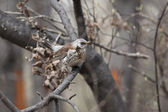 Fieldfare, (Turdus pilaris) — Stock Photo