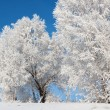 Trees in frost — Stock Photo #8200507