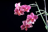 Beautoful orchid at the dark background — Stock Photo