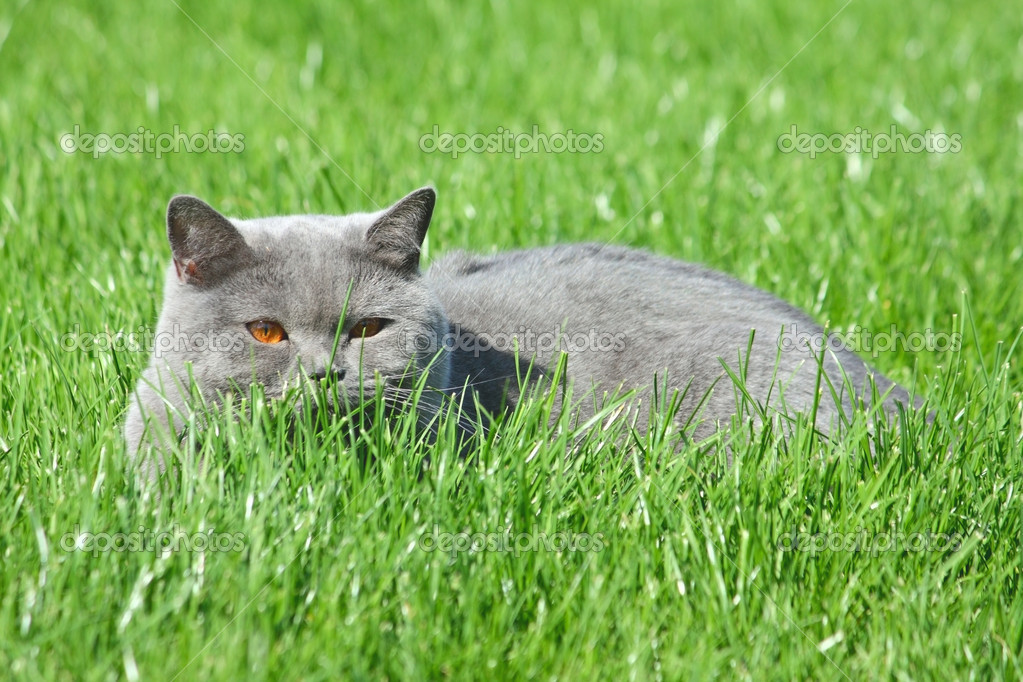 Grey brittish cat lying in the green grass — Stock Photo #10664673