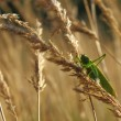 Grasshopper on wheat — Stock Photo