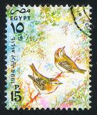 Egyptian swallow — Stock Photo