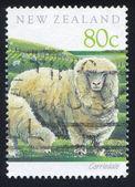 Corriedale pecore — Foto Stock