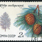 Siberian Pine — Stock Photo