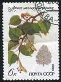 Lime tree — Stock Photo