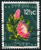 Protea flower — Stock Photo