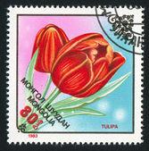 Blomma tulpaner — Stockfoto